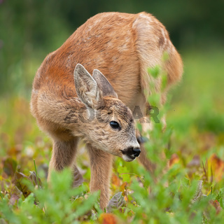 Young roe deer fawn scratching ear on meadow in summer.