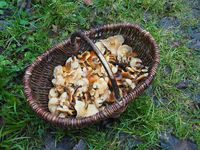Basket with (wild) Enoki, Flammulina velutipes
