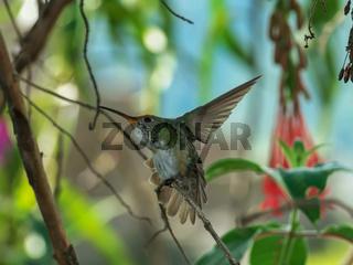 a machu picchu hummingbird stretching its wings