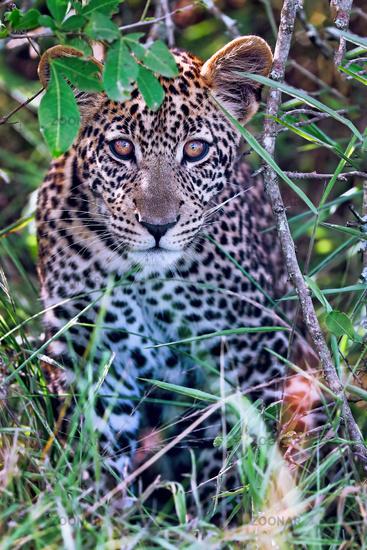 young leopard at Lake Mburo National Park in Uganda (Panthera pardus)