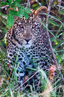 young leopard at Lake Mburo National Park in Uganda (Panthera pardus)