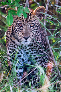 Junger Leopard im Lake Mburo Nationalpark in Uganda (Panthera pardus) | young leopard at Lake Mburo National Park in Uganda (Panthera pardus)