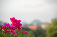 Small pink flowers growing on the shore of  Li river in Guilin