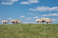 Dke with flock of sheep and beautiful Dutch clouds sky