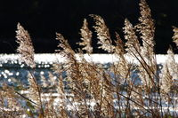 Reed grass in autumn in strong back light with blurred sun reflections in the background