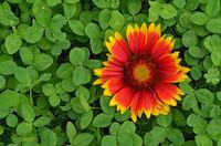 blanket flowers, trefoil, shamrock, clover
