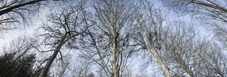 Tall trees in a panorama scene