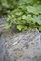 Ivy Foliage