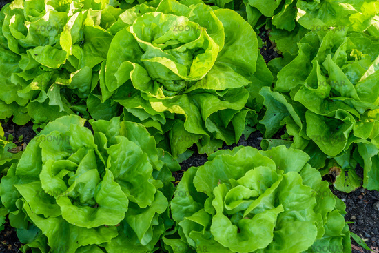 Lettuce in vegetable patch, Reichenau Island, Baden-Wuerttemberg, Germany