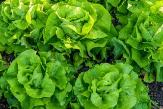 Kopfsalat im Gemüsebeet, Insel Reichenau, Baden-Württemberg, Deutschland