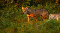 Wolf walking in woodland in summertime evening sun