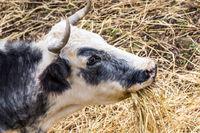 Sardinian cows Italy