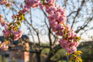 Japanische Blütenkirsche - Nahaufnahme Rosengewächs Zierkirsche