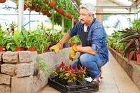 Senior als Gärtner in einem Blumenladen