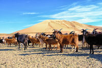 A herd of goats grazes on the border of the sandy desert