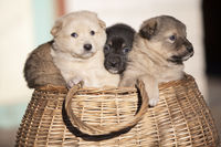 Cute fluffy puppies are sitting in a wicker basket.