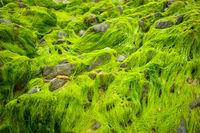Green algae on a rock