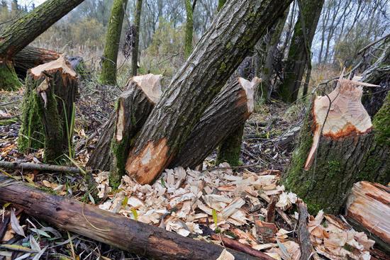 Trees felled by beavers, Bavaria, Germany