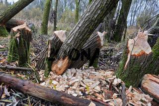 Nagetaetigkeit des Bibers im Auwald, Bayern