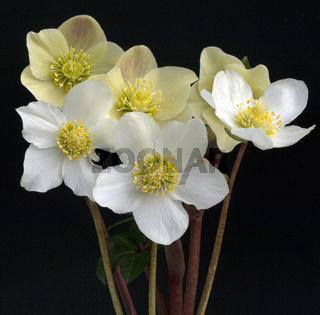 Christrose, Helleborus, niger, Cinnamon, Snow, Gartenpflanze,