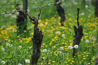 Old vines in the vineyard