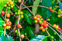 Bunches  of colorful coffee fruit on a tree.