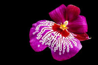 Orchid plant isolated on black