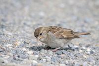 House sparrow 'Passer domesticus'