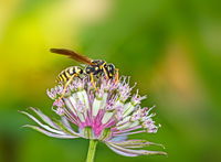 European paper wasp on an astranatia flower
