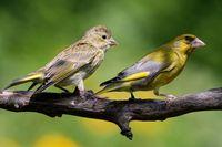 Junger Grünfink wird gefüttert