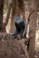 Sykes' monkey