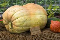 Pumpkin of the Big Max variety .
