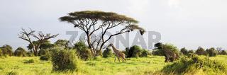 Masai Giraffe, Massai-Giraffe in Amboseli National Park, Kenya, Africa