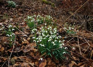 Schneeglöckchen im Laubwald, Galanthus, snowdrop
