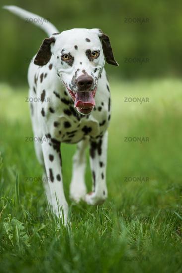 Walking dalmatian dog in a meadow
