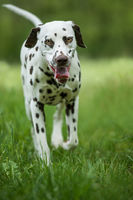 Walking dalmatian dog in a meadow