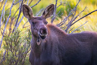 Portrait of a Female Moose in Rocky Mountain National Park