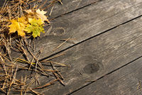 Wooden autumn background with fir needles and yellow leaves