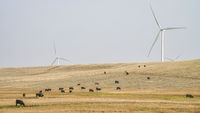 wind turbines and cattle in Wyoming prairie