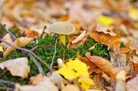 Sandröhrling Pilz im Herbstwald - velvet bolete mushroom in autumn forest