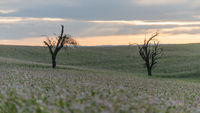 Two bare trees stand in a field full of purple flowers