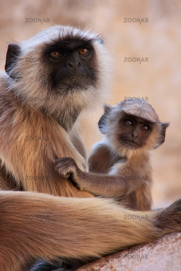 Gray langur with a baby sitting at the temple, Pus