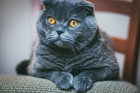Scottish fold gray cat with orange eyes lays on chair alone and bored. Stay at home coronavirus covid-19 quarantine concept