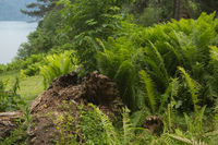 Beautiful ferns leaves green foliage nature. Floral fern background. Ferns leaves green foliage. Tro