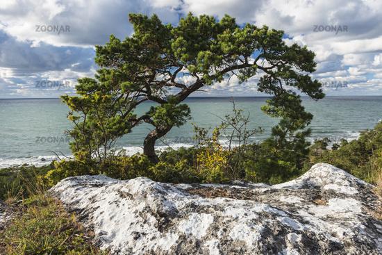Scots pine, Gotland, Sweden