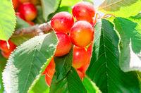Ripe juicy sweet rainier cherry white berry fruits