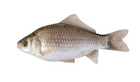 Side view of silver Prussian carp