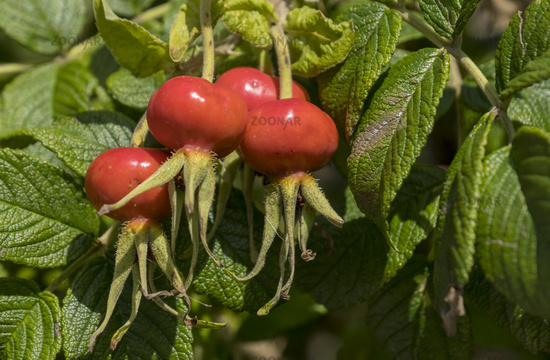 Rose hips of the potato rose (Rosa rugosa)