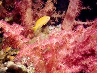 sea goldie (Pseudanthias squamipinnis)