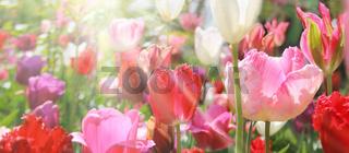 tulpenblüte in hellem licht